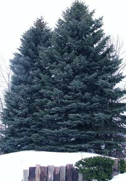 The Colorado Blue Spruce Tree