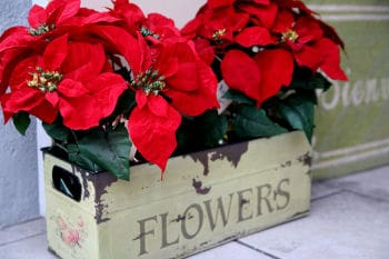 Holiday Plant: Poinsettias in the Garden