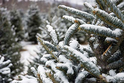 An artificial v.s. a real Christmas tree:Which is more sustainable?