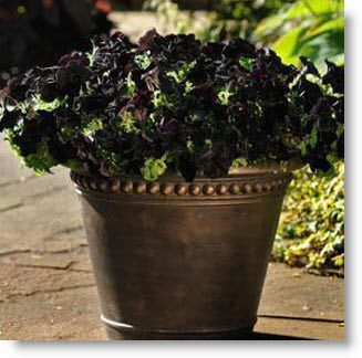 Bring Drama to the Garden with the Black Petunia