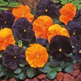 Blog Featured – Fall Landscape Color: From Petunias to Pansies