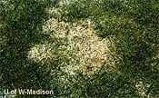 Snow Mold: Pink or Gray