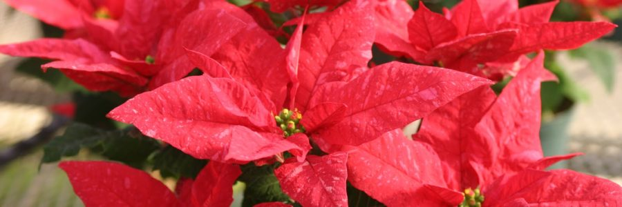 The Proper Way to Care for Poinsettias
