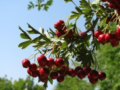 Featured Plant: Russian Hawthorne Tree