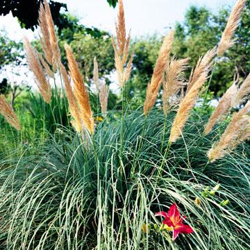 Grasses lifescape colorado for Low growing perennial grasses
