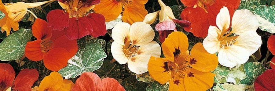 Colorful Annuals for Spring Container Gardens