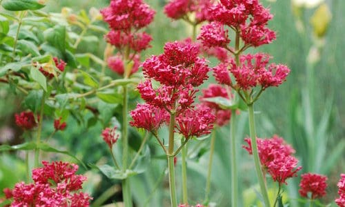 Fabulous Water-Wise Perennials for Colorado Gardens