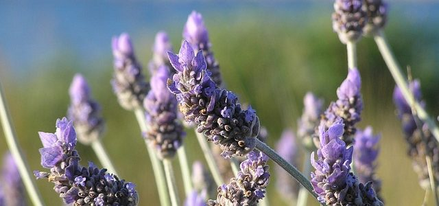 Lavender: Colorful, Fragrant, & Great for Xeriscapes