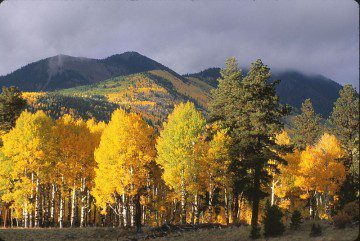 The Quaking Aspen: Is It Right For Your Landscape?