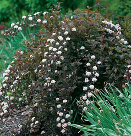 Stunning shrubs for your landscape lifescape colorado a gray green leaf that turns bronze red in the fall it produces pinkish red buds in the spring that open to clusters of white flowers mightylinksfo
