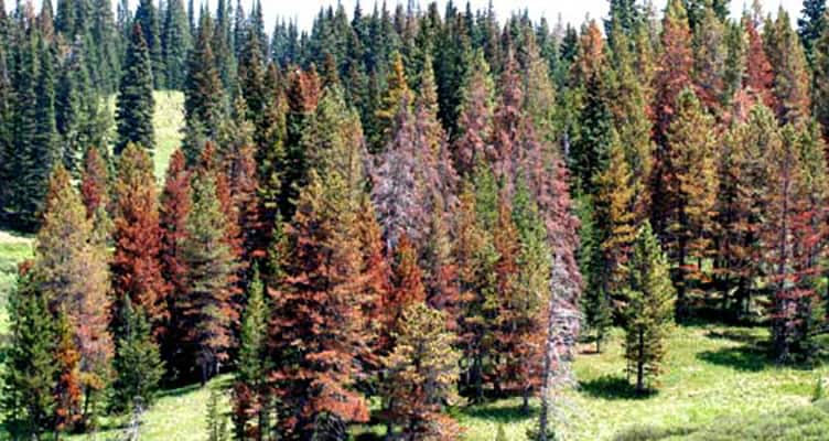 Mountain Pine Beetle effect on trees