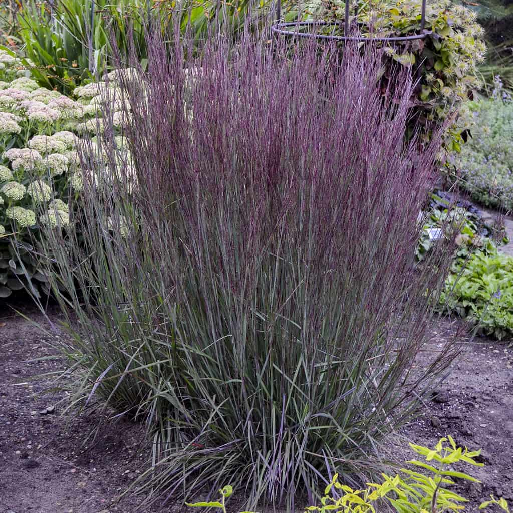 Ornamental Grasses Colorado Designing with ornamental grasses lifescape colorado ornamental grasses workwithnaturefo