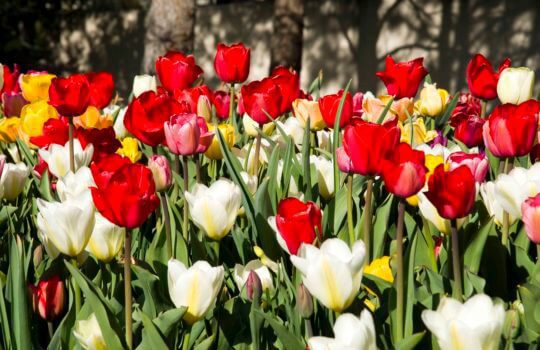 Plant bulbs this fall for colorful spring blooms.